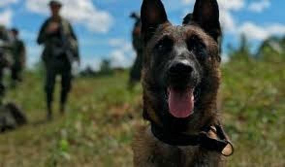 Killer, perro policía que murió por descarga eléctrica.