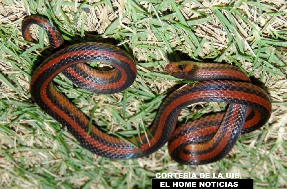 Esta especie de serpiente tiene sus características especiales: osteológicas, morfológicas, su coloración y sus escamas. Su estudio lo hizo un biológogo de la Universidad Industrial de Santander.